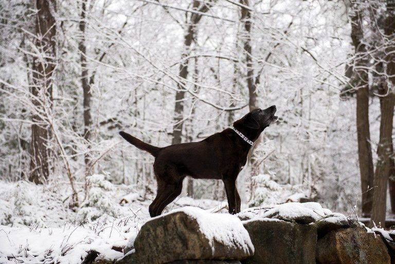 black lab barking on top of rocks on snow day