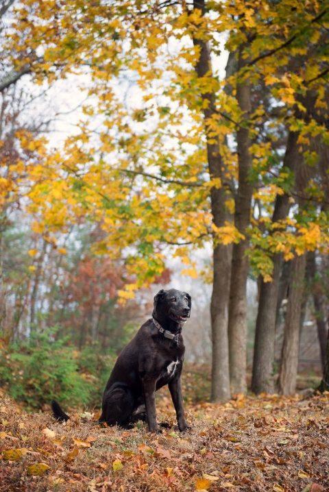 fall black lab portrait