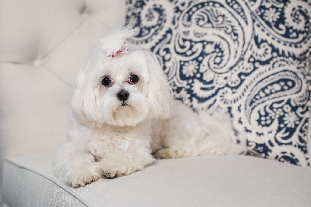 white little dog seating on white sofa